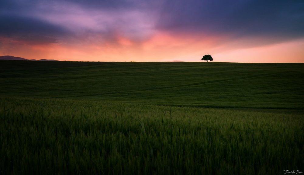 Обои для рабочего стола Дерево в конце зеленого поля на фоне заката