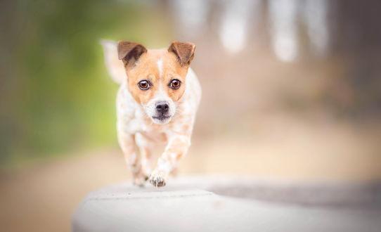Обои Собака по кличке Peppi, photography ilona mikkonen