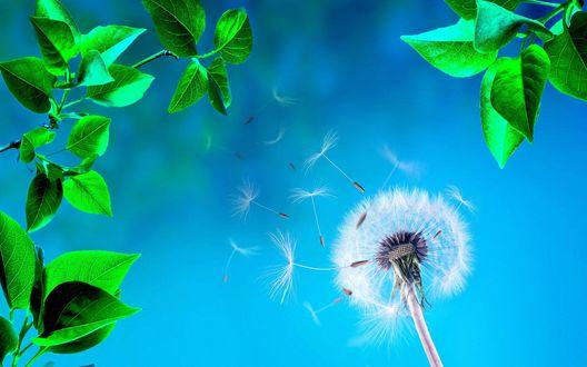 Обои Парашутики семена летят с одуванчика на фоне голубого неба, в окружении зеленых листьев