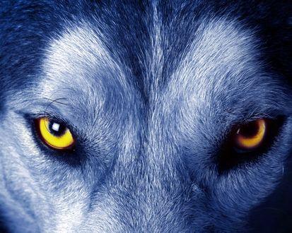 Обои Морда волка с желтыми глазами