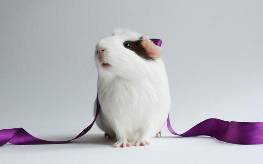 Обои Морская свинка с фиолетовой лентой на светлом фоне