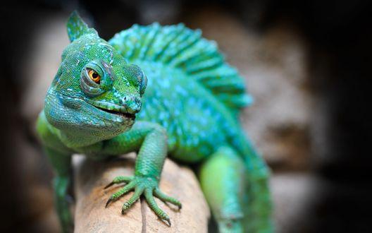 Обои Зеленая ящерица прищурила глаза