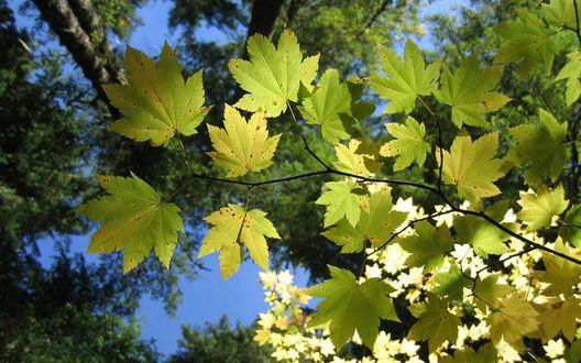 Обои Ветка с кленовыми листьями на фоне размытых крон деревьев
