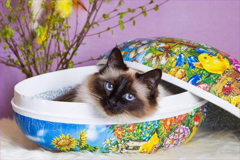 Обои Сиамский кот отдыхает в шкатулке, by Ala Foto
