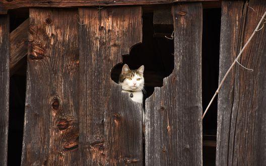 Обои Кот смотрит на улицу через дырку в заборе