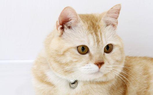Обои Кареглазый кот светлого окраса