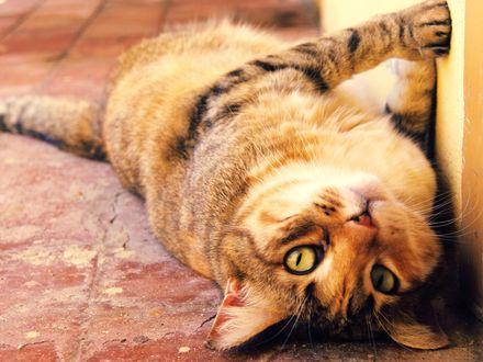 Обои Кот лежит на полу, прижавшись к стене