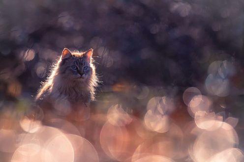 Обои Пушистый кот на фоне бликов, фотограф Вячеслав Мищенко