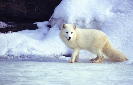 Обои Белый песец / полярная лиса стоит на снегу