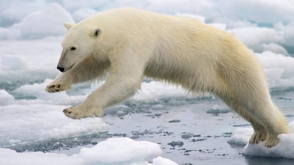 Обои Белый медведь в прыжке со льдины на другую льдину