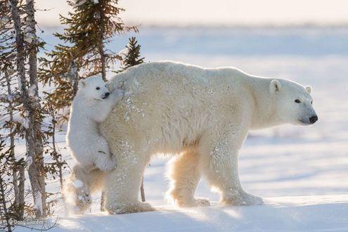 Обои Белая полярная медведица со своим малышом медвежонком, который повис на ней