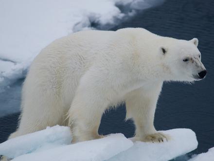 Обои Белый полярный медведь стоит на льдине
