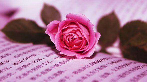 Обои Розовая роза на листе с иероглифами