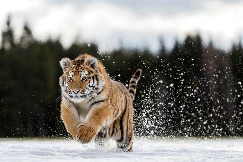 Обои Тигр в прыжке над снегом, фотограф Norbert Liesz