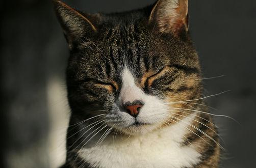 Обои Кот с закрытыми глазами, by clochartist-photo