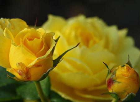 Обои Желтые розы, by clochartist-photo