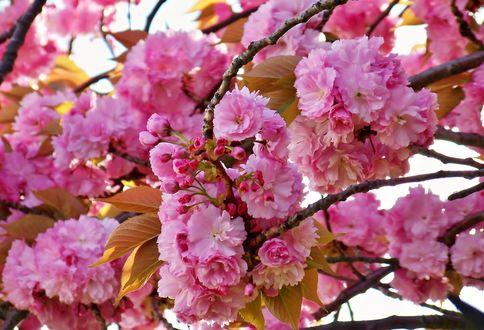 Обои Цветущие весенние ветки, by fiyonk14