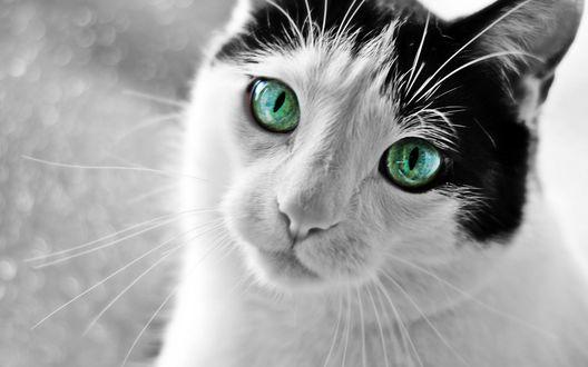 Обои Черно-белый кот с зелеными глазами