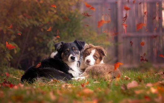 Обои Две собаки лежат на траве под падающими листьями