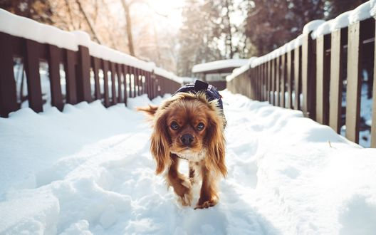 Обои Рыжий пес породы спаниель идет по заснеженному мосту