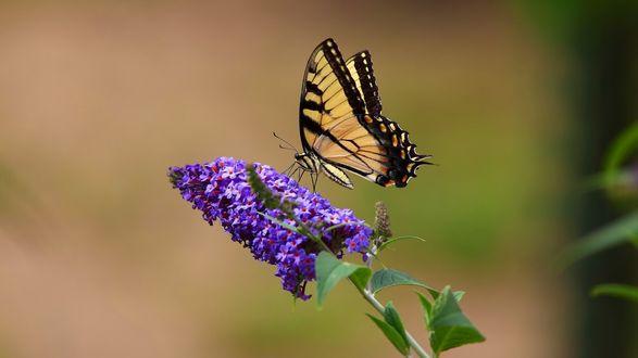 Обои Бабочка парусник на сиреневом цветке