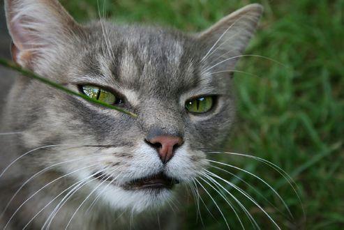 Обои Серый кот с зелеными глазами в траве