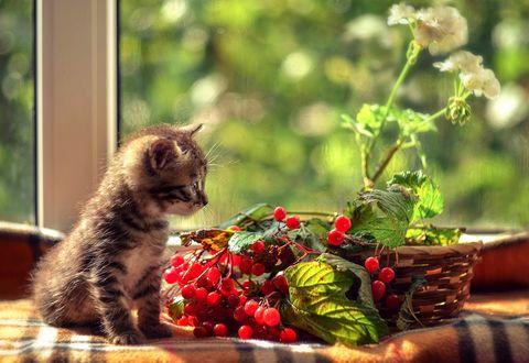 Обои Маленький котенок на подоконнике рядом с ягодами калины