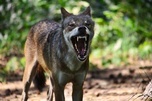 Обои Злой волк на природе, by Lakela