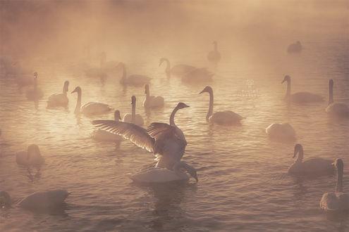 Обои Лебединое озеро на рассвете, фотограф Купрацевич Дмитрий
