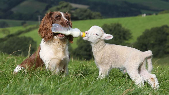 Обои Собака кормит молоком белого ягненка