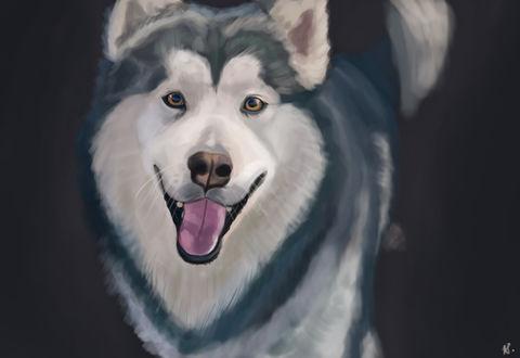 Обои Собака породы хаски на сером фоне, by Zary-CZ