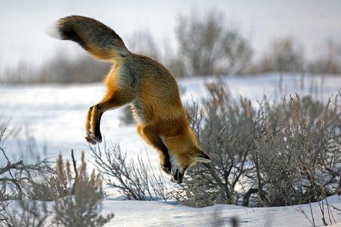 Обои Лиса в прыжке над снегом, by JH Atala