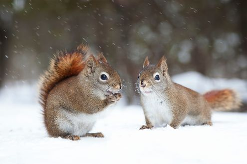 Обои Две белочки на снегу, фотограф Andre Villeneuve