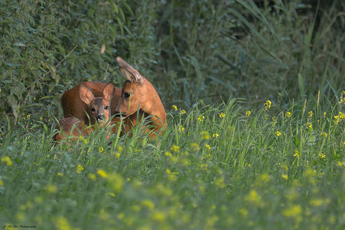 Обои Молодые олени на природе, фотограф Erhard Ehli
