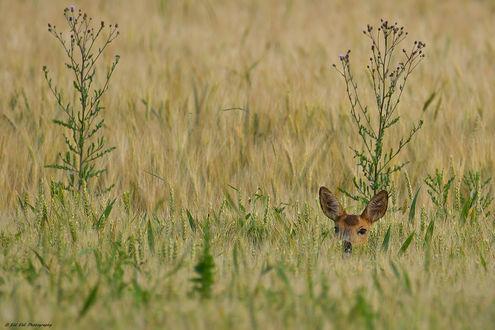 Обои Олененок в траве, фотограф Erhard Ehli