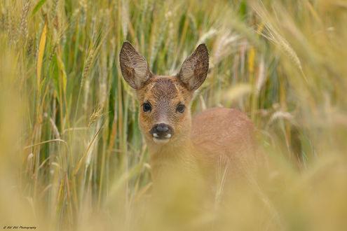 Обои Олень в траве, фотограф Erhard Ehli