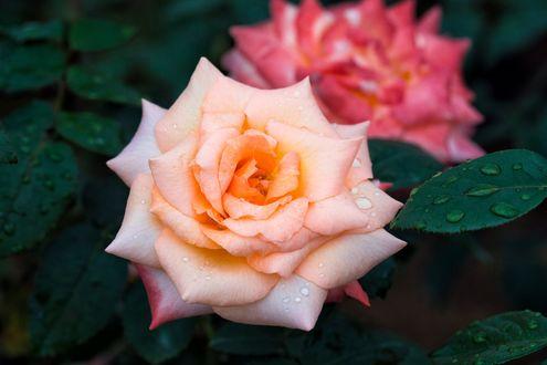 Обои Розы с каплями воды, фотограф S. H. Kim