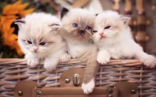 Обои Котята рэгдолл сидят в плетенной корзине