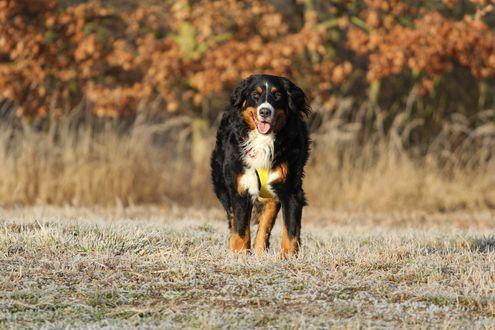 Обои Собака породы бернский зенненхунд, бернская овчарка на природе