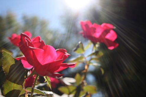 Обои Красные розы в солнечном свете