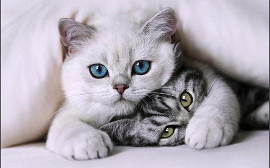 Обои Два милых котенка с красивыми глазами под одеялом