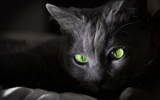 Обои Кошка с зелеными глазами