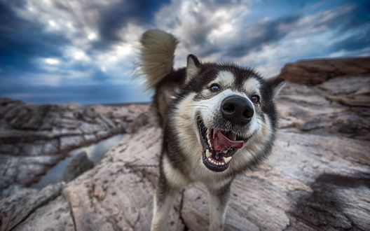 Обои Собака породы хаски на фоне облачного неба