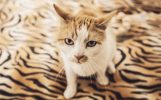 Обои Кошка сидит на тигровом одеяле