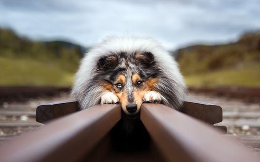 Обои Собака лежит на рельсах
