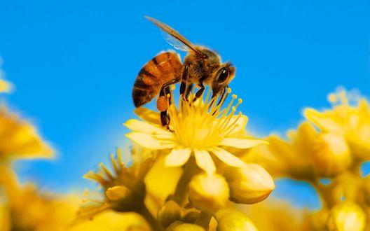 Обои Пчела собирает нектар с желтого цветка