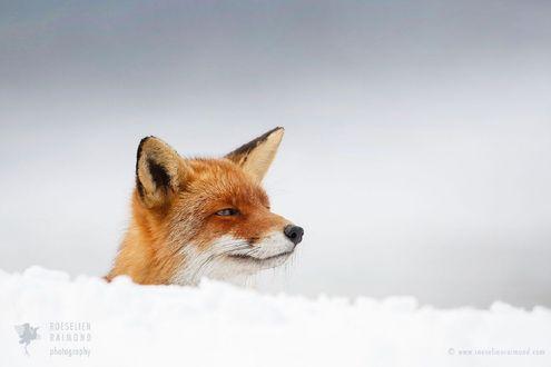Обои Лиса выглядывает из-за снежного сугроба, фотограф Roeselien Raimond