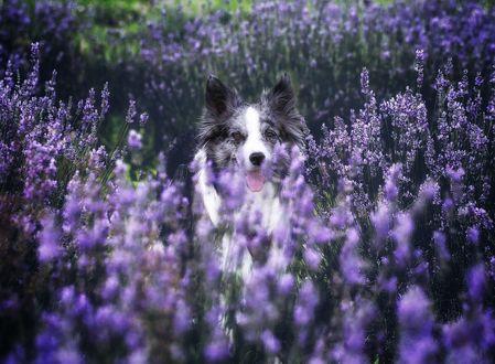 Обои Пес на лавандовом поле, фотограф Keiko O