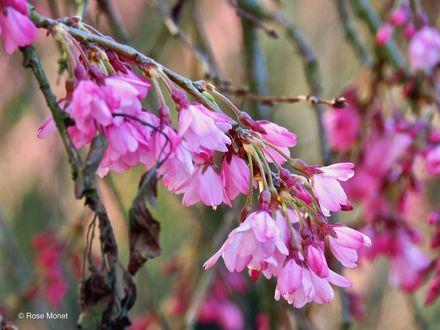 Обои Цветущие весенние ветки сакуры, by Rose Monet