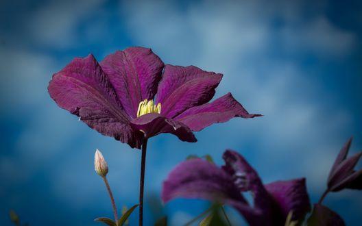 Обои Фиолетовые цветы клематиса на фоне неба